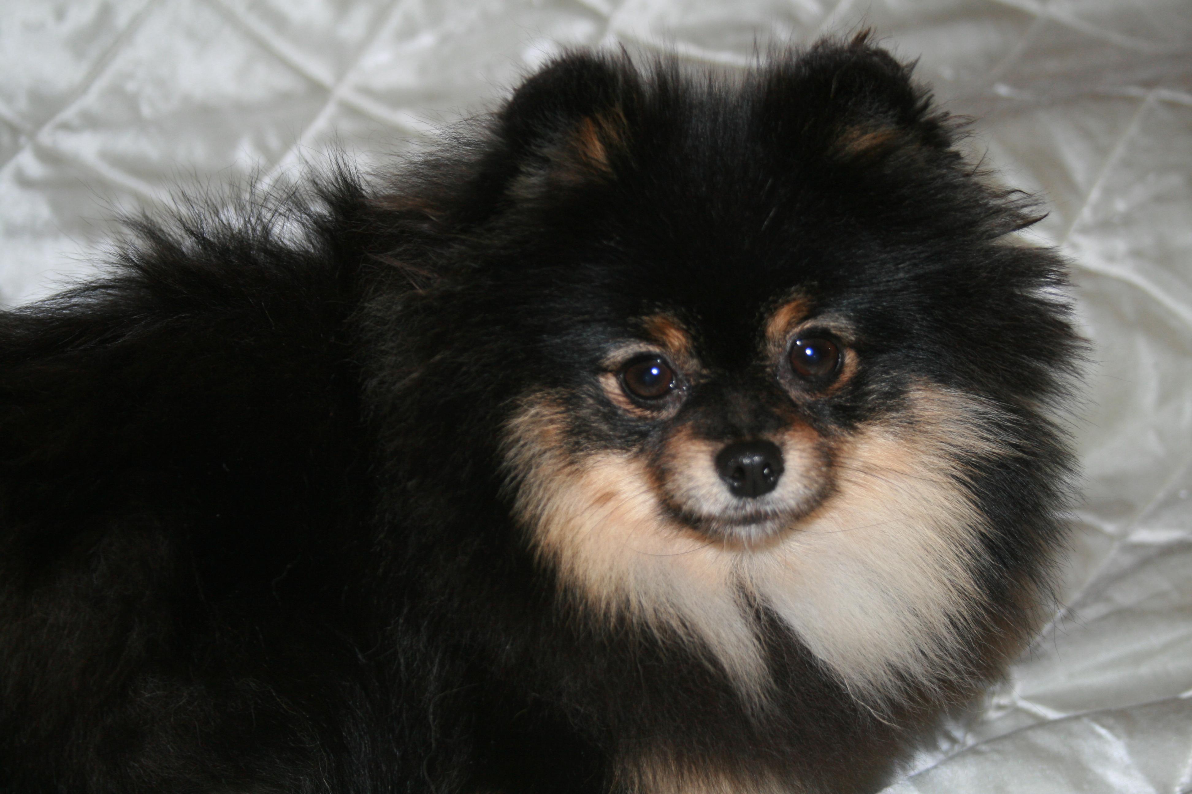 Black Tan Pomeranian
