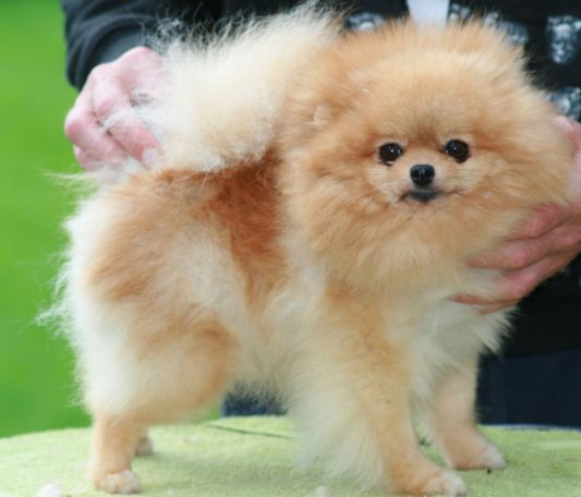 Bella Klein´s Dolly (Orange pomeranian)