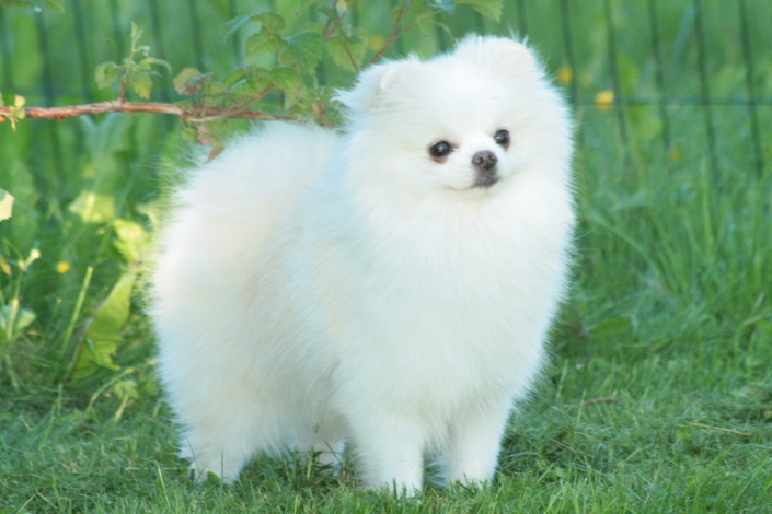 Bella Klein´s Vinny (hvit/White pomeranian)