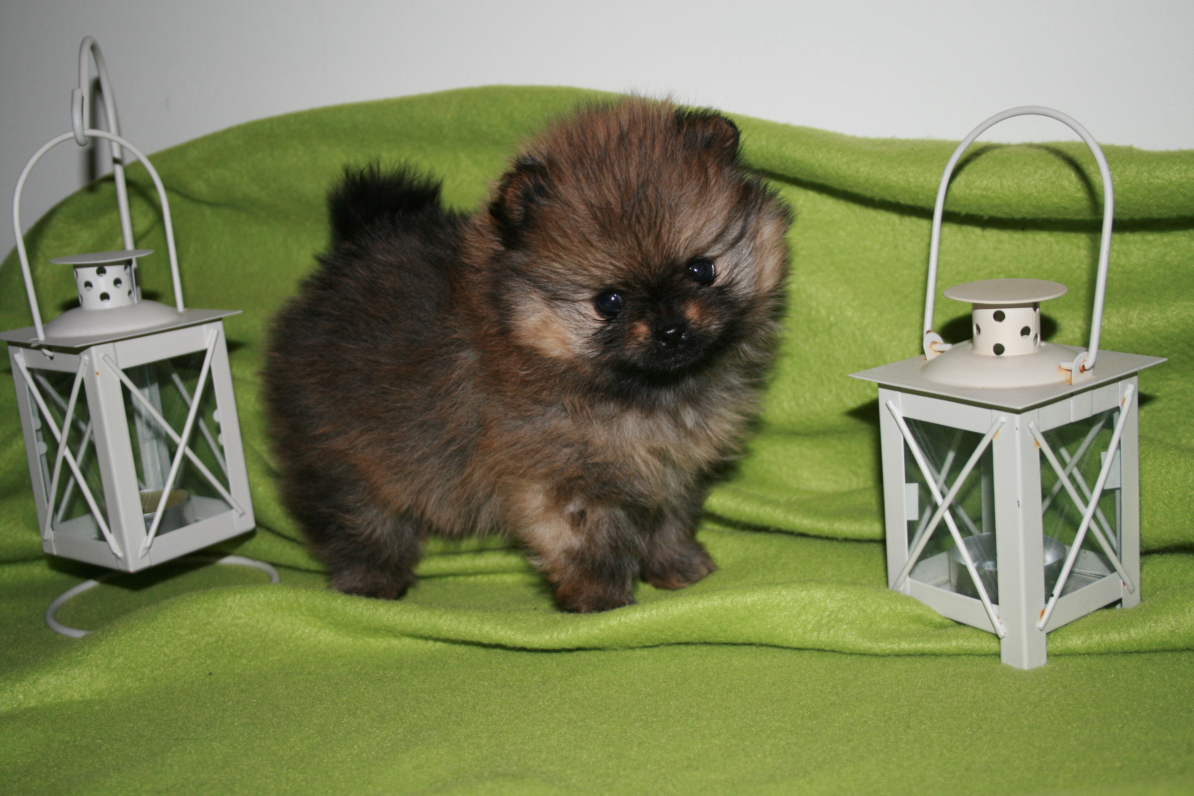 pomeranian language pomeranian valper v 229 re fotogene valper 171 bella klein 180 s 9430