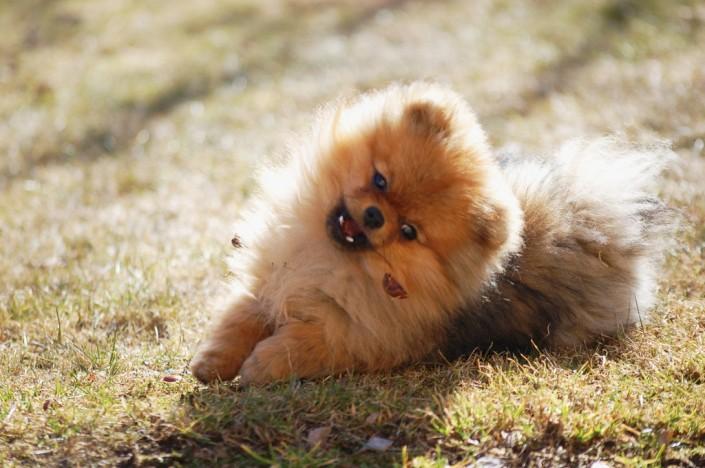 Bella Klein´s Gimmy (Pomeranian)