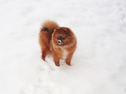 Pomeranian norway