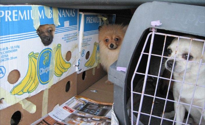 Smugling av miniatyrhunder deriblant pomeranian