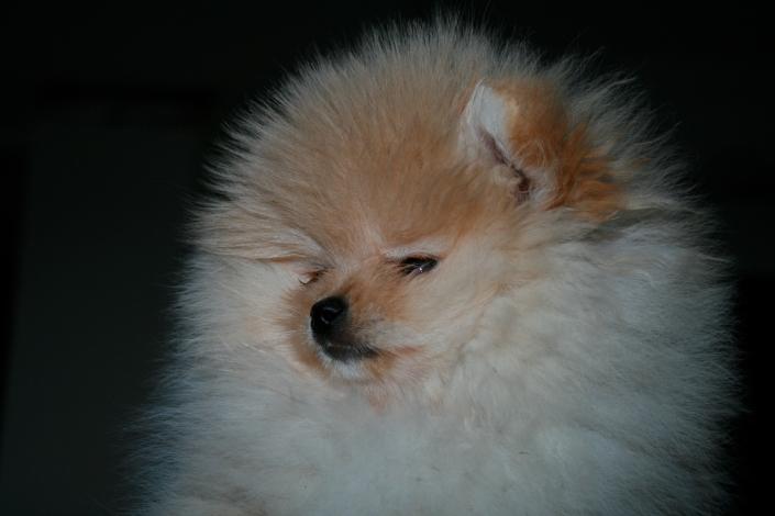 Bell Klein´s Pomeranian