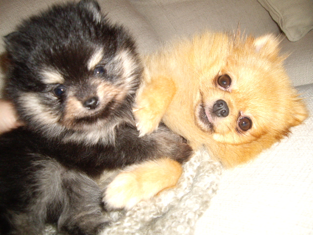 Black and tan pomeranian valp fra Bella Klein´s Pomeranian