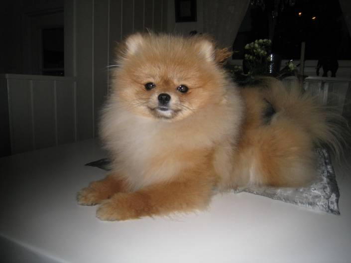 Bella Kleins puppy, orange pomeranian from Bella Kleins pomeranian http://www.bellaklein.no