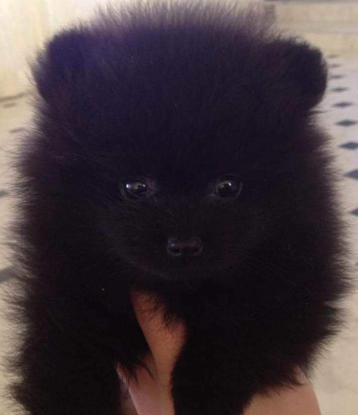 Gipsy, Vår første sorte pomeranian hanne