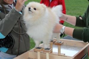 Bella Klein´s udiny (Creme Pomeranian)