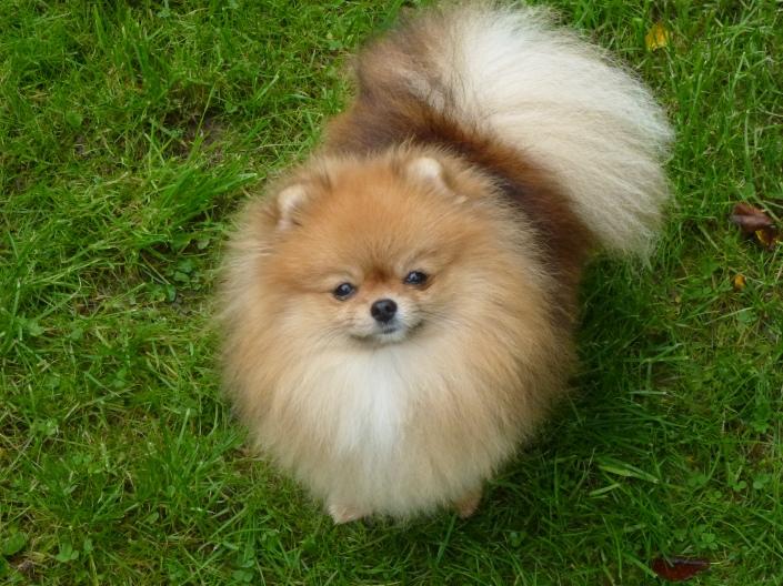 """Bella Klein´s Puppy """"Bella"""" (pomeranian)"""