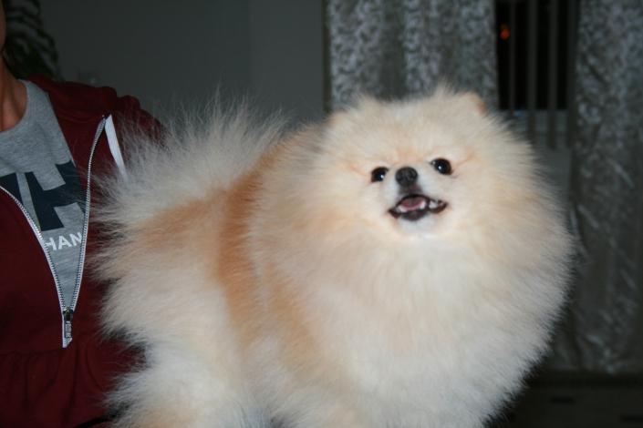 Bella Klein´s Udiny.  orange pomeranian fra Bella Klein´s Pomeranian