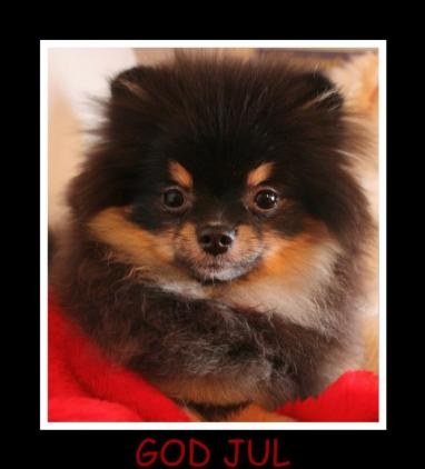 black and tan pomeranian (Sendt inn av sissel eliassen)