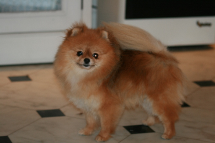 "Orange pomeranian tispe ""Bella Klein´s Puppy"" (Bella)"