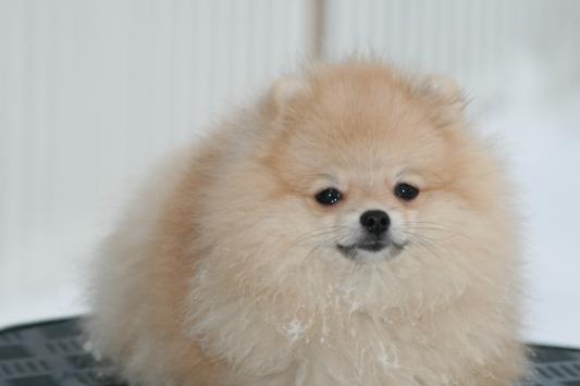Bella Klein´s Duffy (Pomeranian)