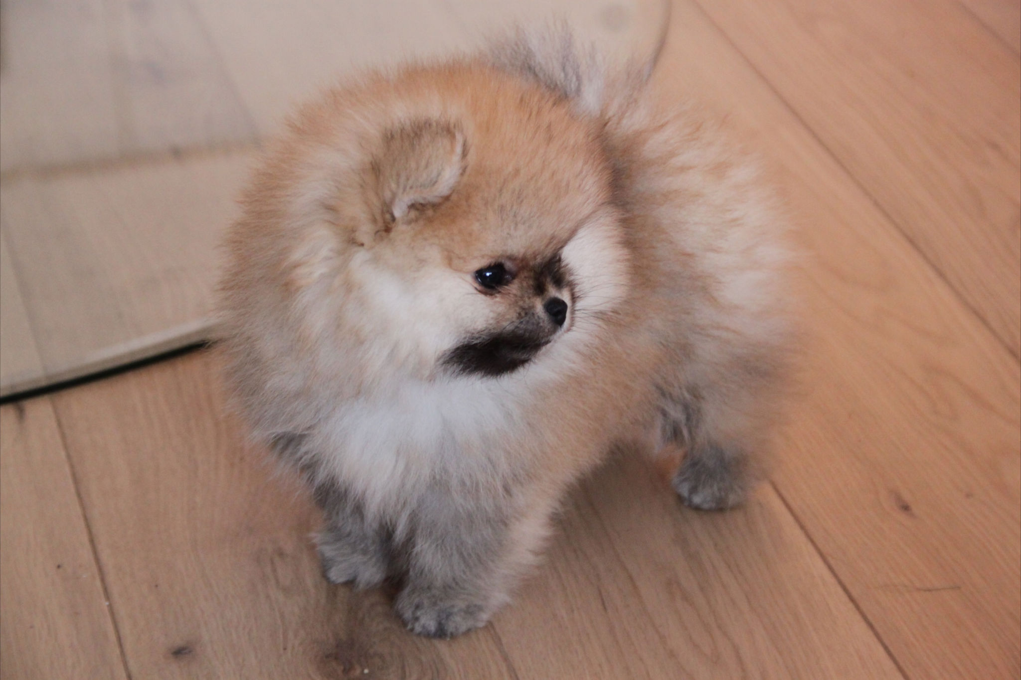 pomeranian language bella klein 180 s nudeey orange pomeranian puppy valp norway 2795