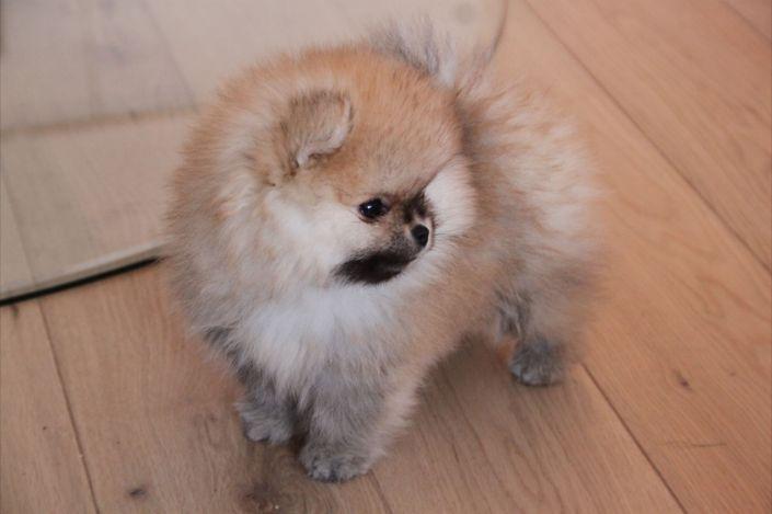 Bella Klein´s Nudeey ... Orange pomeranian puppy/valp Norway/Norge