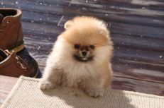 Bella Klein´s Nudeey ... Orange pomeranian puppy/valp Norway/Norge