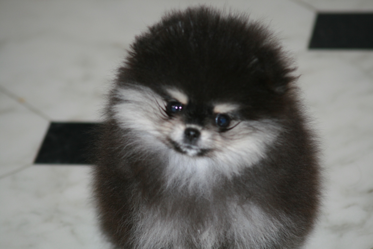 Bella Klein´s Pretty. Black and tan pomeranian girl from Bella Klein´s Pomeranian