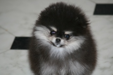 Bella Klein´s Pretty. Black and tan pomeranian girl from Bella Klein´s Pomeranian
