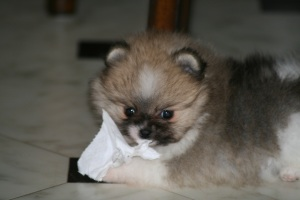 Parti pomeranian (Bella Klein´s Pomeranian)