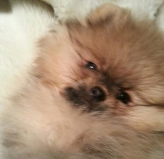 Pomeranianvalp til salg