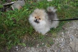 Bella Klein´s Pomeranian