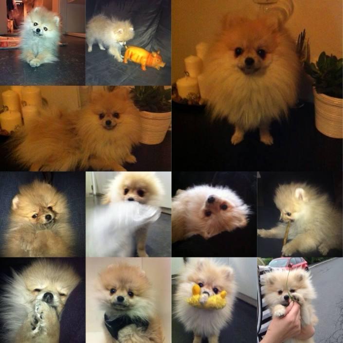Bella Klein´s Pomeranian, Pebbles. creme pomeranian