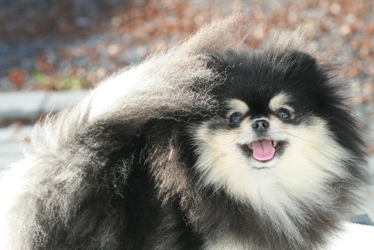 Molly (Black & Creme) pomeranian tispe fra Bella Klein´s pomeranian (Bella Bella Klein´s Pomeranian