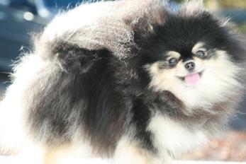 Molly (Black & Creme) pomeranian tispe fra Bella Klein´s pomeranian