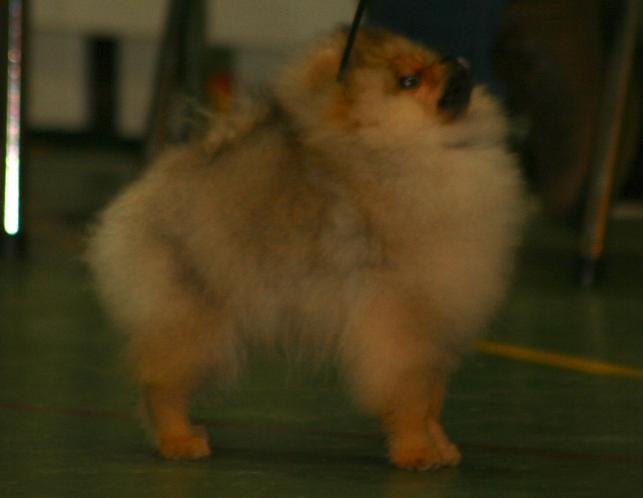 Bella Klein´s Joey. (orange pomeranian fra Bella Klein´s Pomeranian)