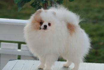 Parti parget pomeraninan fra Bella KLein´s Pomeranian
