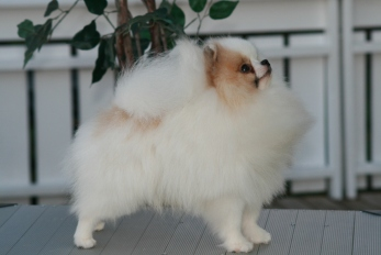 Voodey: Parti parget pomeraninan fra Bella KLein´s Pomeranian