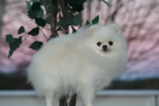 Hvit pomeraninan fra Bella KLein´s Pomeranian