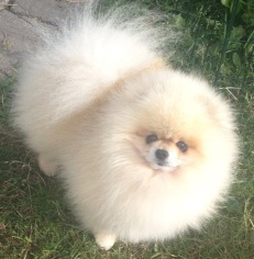 """Belliver here for the Party"" (creme pomeranian)"