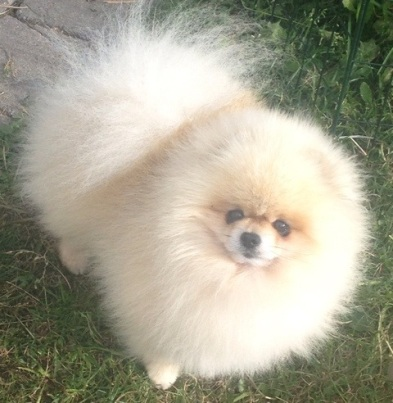 """""""Belliver here for the Party"""" (creme pomeranian)"""