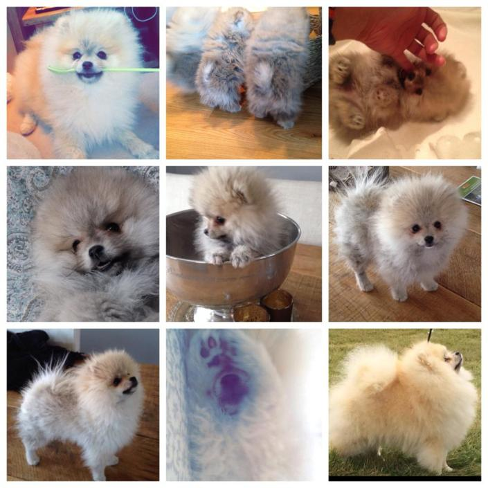 Bella Klein´S Plutty (Creme Pomeranian)