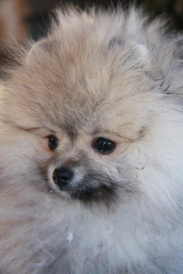 Bella Klein´S Buffy (Creme sobel Pomeranian)