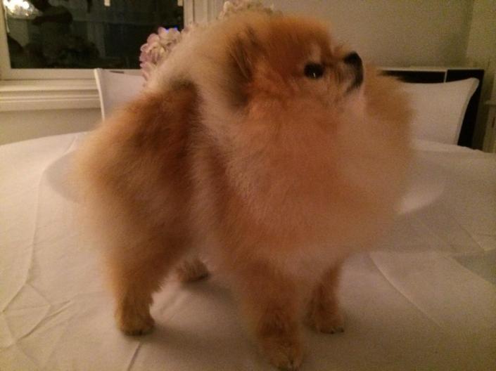 Bella. orange pomeranian fra Bella Klein´s Pomeranian