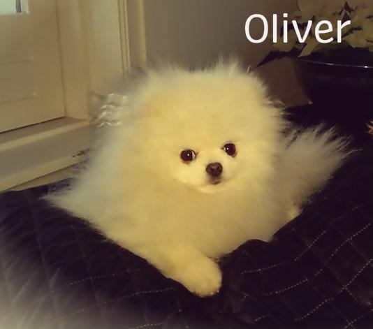 Hvit pomeranian Oliver fra Bella Klein´s Pomeranian